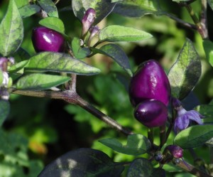 purplepeppers